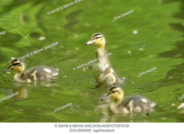 Close-up of mallard or wild duck (Anas platyrhynchos) chicks swimming on a little lake in spring
