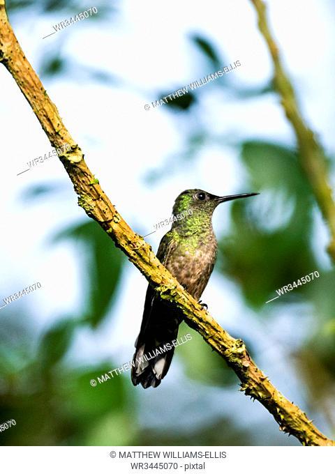 Scaly-breasted Hummingbird (Phaeochroa cuvierii), Boca Tapada, Alajuela Province, Costa Rica, Central America