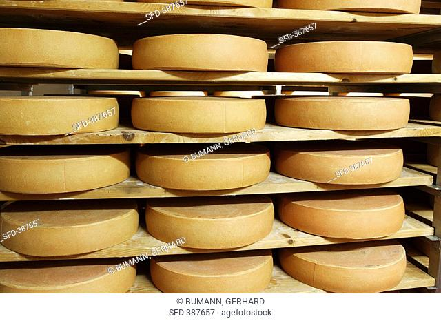 Bergkäse cheese Alpine cheese stored on wooden shelves