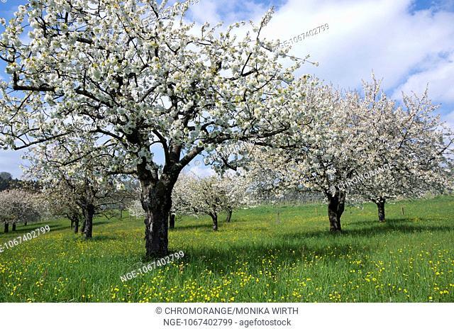 Flowering fruit trees in spring, Birnau, Lake, Region, Baden-Wuerttemberg, Germany, Europe