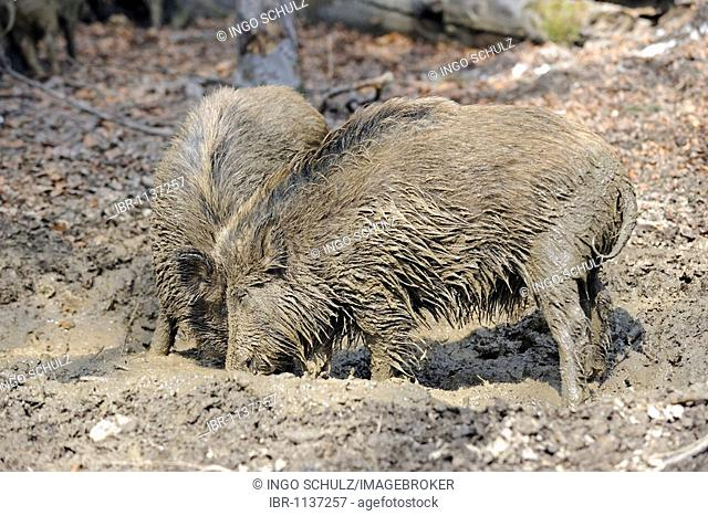 Wild boars (Sus scrofa) taking a mud-bath
