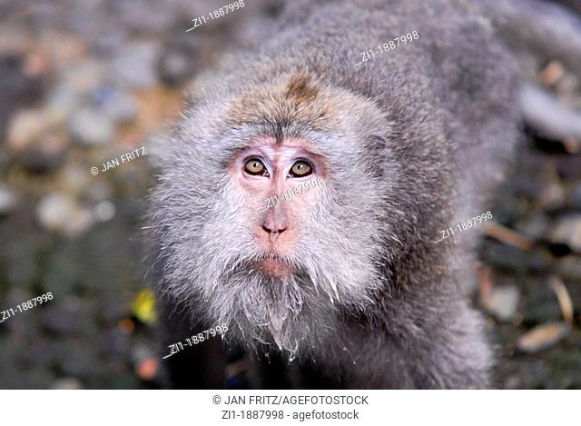 close up of macaque, Bali, Indonesia