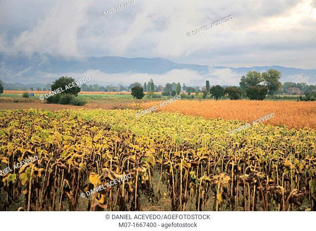 Tiber valley, crops, Anghiari, Tuscany, Italy