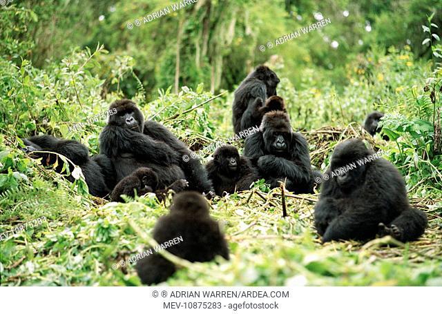 Ape: Mountain Gorilla - Silverback male with group resting (Gorilla gorilla beringei). Virunga Volcanoes, Rwanda, Africa