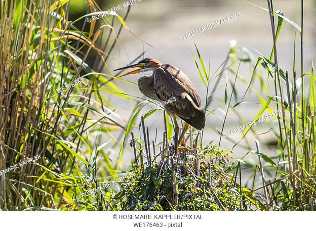 Germany, Baden-Württemberg, Waghäusel - A purple heron hides themselve in the hidden
