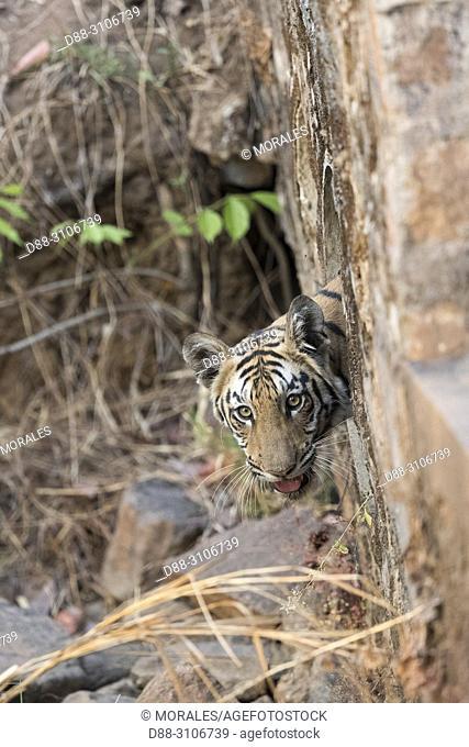 Asia, India, Maharashtra, Tadoba Andhari Tiger Reserve, Tadoba national park, a young tiger comes out of a water drainage pipe that passes under the track at...