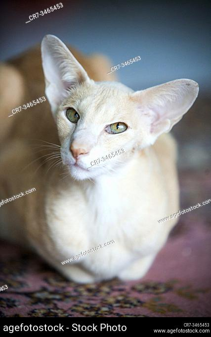 Elegant siamese looking cat posing indoor