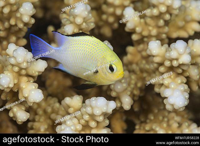 Half Moon Damselfish, Dascyllus marginatus, Marsa Alam, Red Sea, Egypt