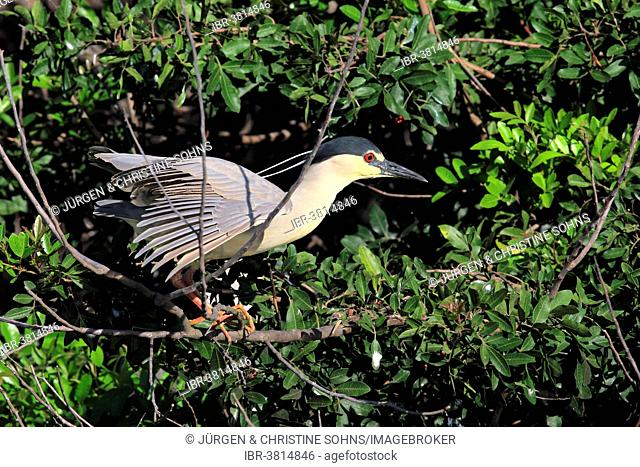 Black-crowned Night Heron (Nycticorax nycticorax), adult in breeding plumage, on tree, Venice Rookery, Venice, Florida, United States