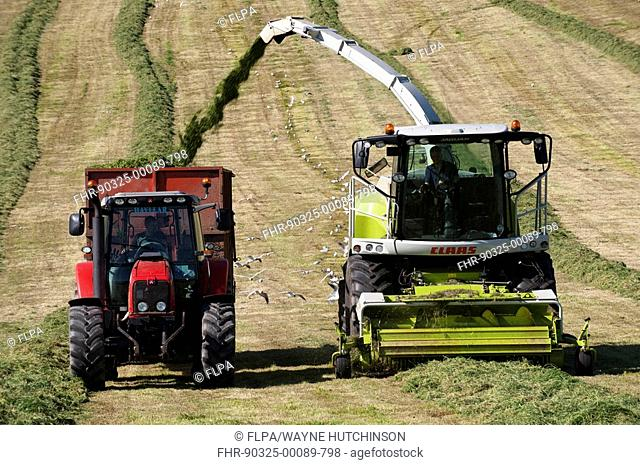 Claas 940 self-propelled forage harvester, working in field filling tractor trailer with chopped grass, Cumbria, England