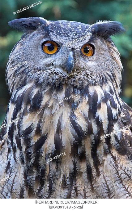 Eurasian eagle-owl (Bubo bubo), portrait, Emsland, Lower Saxony, Germany