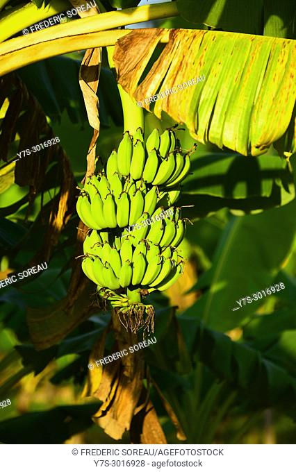Unripe bananas growing on a tree in Koh Trong island near Kratie, Cambodia, South East Asia, Asia