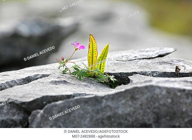 Burren fertile Rocks, The Burren National Park, County Clare, Ireland