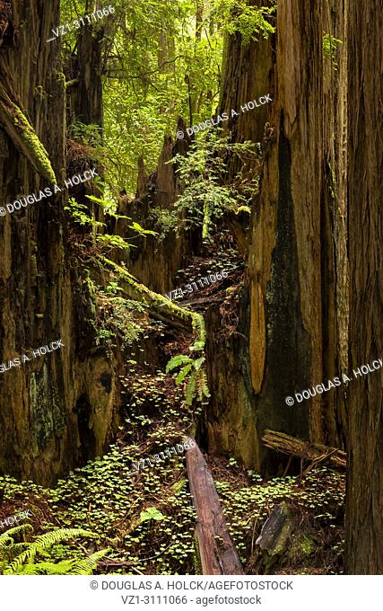 Sun on wet forest between rains on Cal Barrel Road in Praries Creek Redwoods State Park CA USA