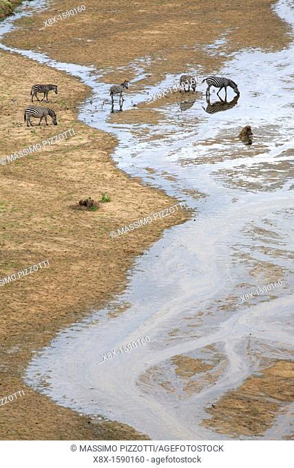 Zebras drinking at the river, Tarangire National Park, Tanzania