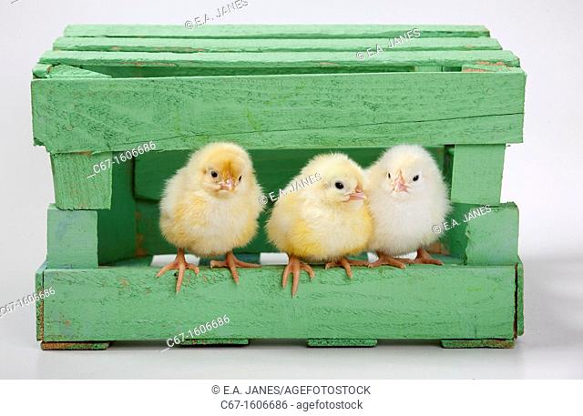 newly hatched Dayold Chicks in green box