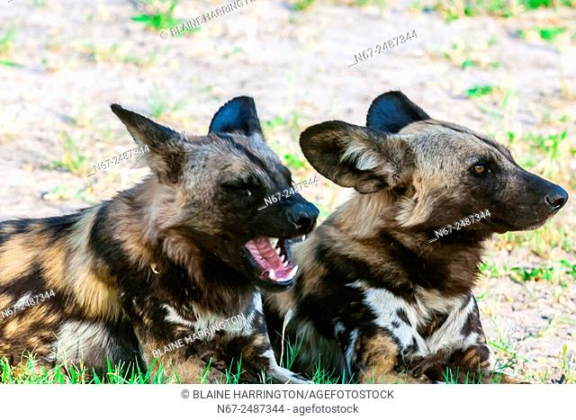 African wild dogs, near Kwando Concession, Linyanti Marshes, Botswana. African wild dogs are extremely endangered. Only about 6,000 are left