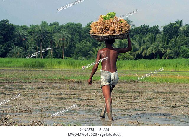 A farmer going to plant paddy shoots in his land Madaripur, Bangladesh July 09, 2007