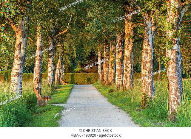 birch avenue to Chiemsee in Felden, Chiemgau, Upper Bavaria, Bavaria, southern Germany, Germany, Europe