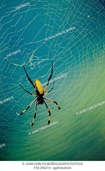 Golden Silk Spider (Nephila clavipes)