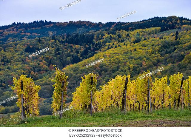 The yellow vines in the vicinity of St. Hippolyte in the fall, Alsace, France