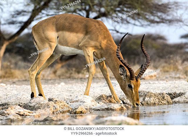 Impala drinking at Onkolo Hide, Onguma Game Reserve, Namibia, Africa