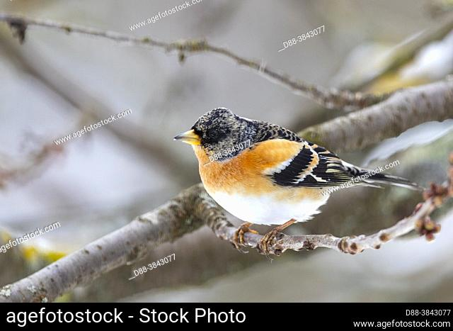 Europe, France, Alsace, Obernai, Northern chaffinch (Fringilla montifringilla), male posed in a cherry tree in winter with snow