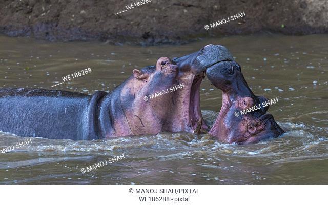 Hippos play fighting, Masai Mara National Reserve, Kenya