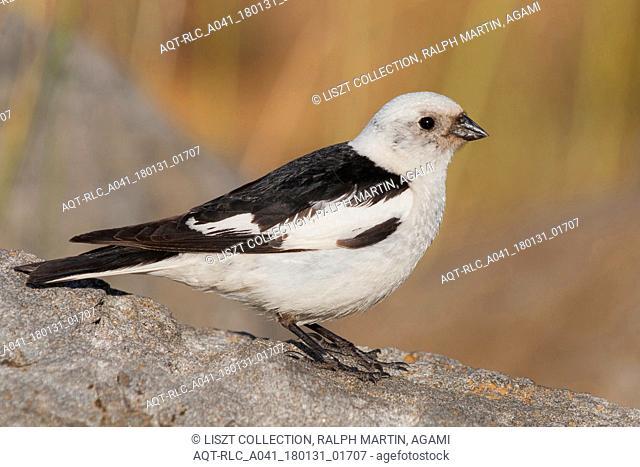 Snow Bunting, Plectrophenax nivalis ssp. insulae, Iceland, adult male, Plectrophenax nivalis