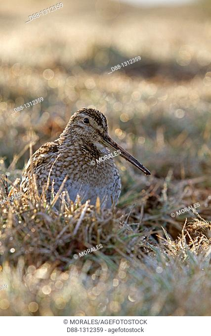 Falkland Islands , Sea LIon island , Magellanic snipe or South American Snipe  Gallinago paraguaiae magellanica  Order : Charadriiformes Famille : Scolopacides