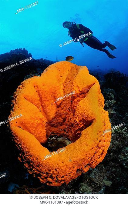 Scuba diver swims over giant elephant ear sponge, Bonaire Island, Netherlands Antilles, Caribbean