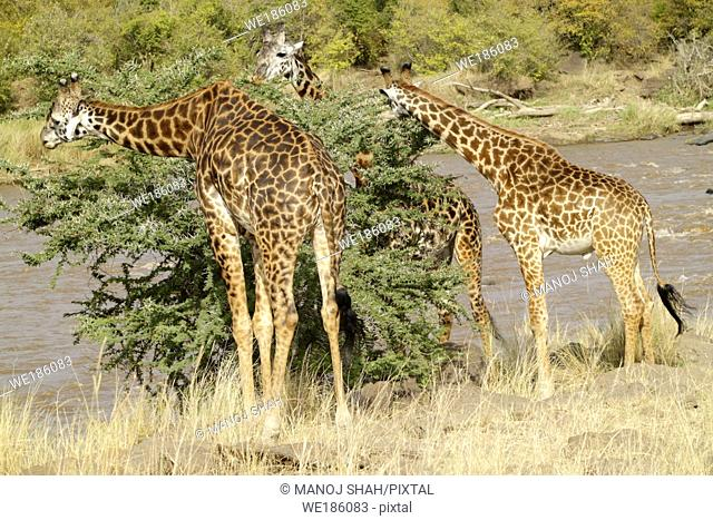 Giraffes are browsers, they avoid grass and concentrate on leaves Their long legs and neck give them an edge over other animals