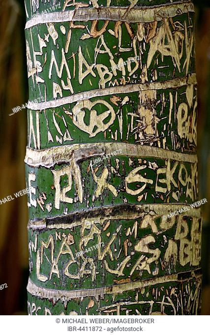Carved initials in tree bark, Kentia palm (Howea forsteriana), Jardín de Aclimatión de La Orotava, Botanical Gardens, Puerto de la Cruz, Tenerife, Spain