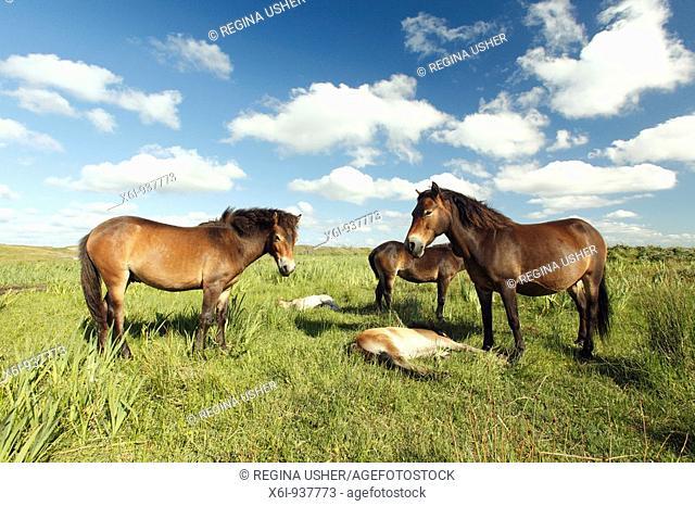 Exmoor Pony - Mares and foals resting, De Bollekamer sand dune NP, Island of Texel, Holland