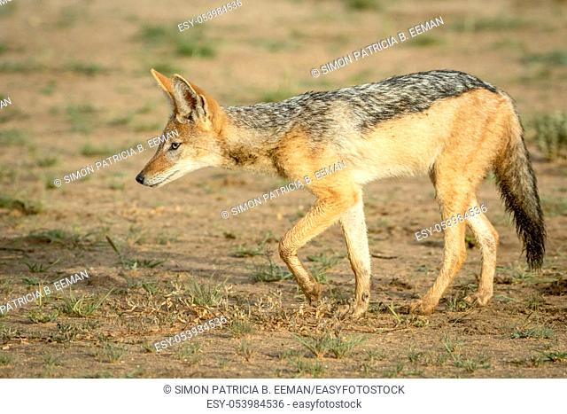 Side profile of a Black-backed jackal in the Kalagadi Transfrontier Park, South Africa