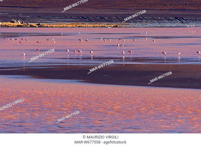 laguna colorada, fenicotteri, riserva eduardo avaroa, los lipez, altopiano, bolivia, america del sud