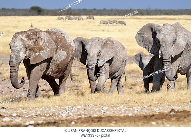 Herd of African elephants (Loxodonta africana), covered with mud, walking in dry grass, Etosha National Park, Namibia, Africa