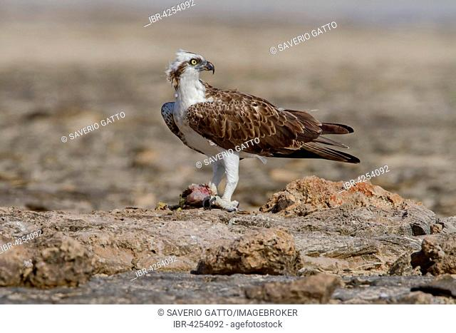 Osprey (Pandion haliaetus), with a caught fish on a rock, Nabq, Egypt