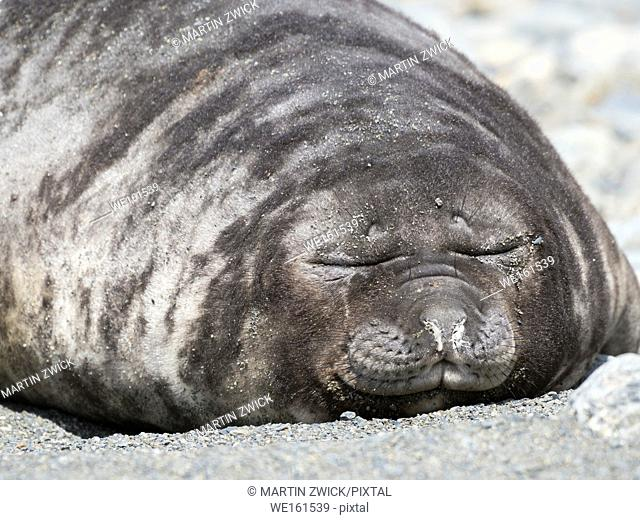 Southern elephant seal (Mirounga leonina), weaned pup on beach. Antarctica, Subantarctica, South Georgia, October