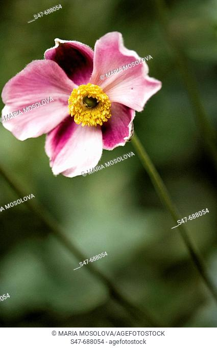 Pink Anemone Bloom. Anemone hupehensis. August 2007. Maryland, USA