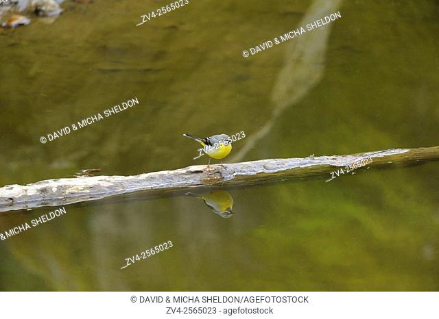 Close-up of a Grey Wagtail (Motacilla cinerea) next to a little pond looking for food in spring