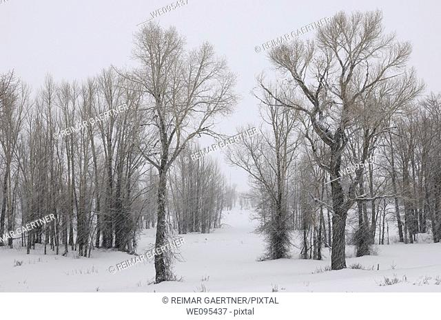 Stand of Eastern Cottonwood trees in a snow storm on Gross Ventre Road Bridger Teton National Forest