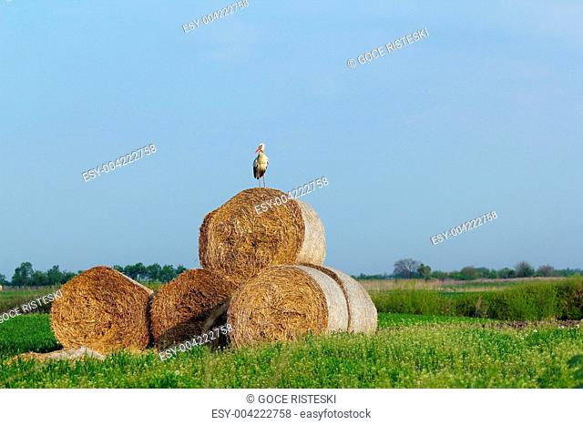 field with white stork and straw bale