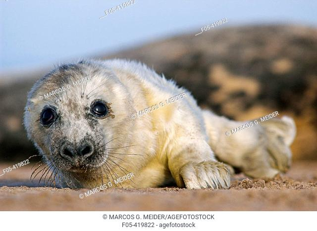 Grey Seal (Halichoerus grypus) pup. Donna Nook National Nature Reserve, England. UK
