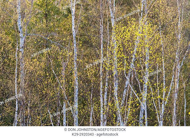 Emerging spring foliage in a birch woodland, Greater Sudbury, Ontario, Canada