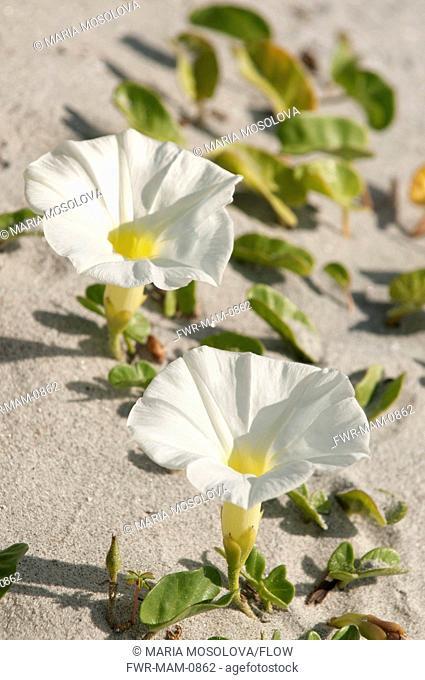 Ipomoea imperati, Beach morning-glory, White subject