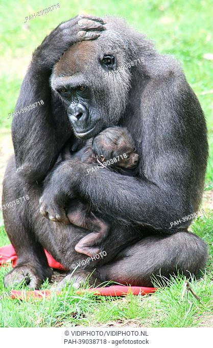 ARNHEM - In Burgers' Zoo in the Dutch city Arnhem is Thursday 25-4-2013 unexpectedly a young gorilla born. Caregivers expected the baby not until the end of May