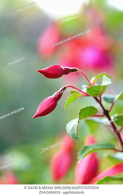 Close-up of red Fuchsia blossoms in a garden in summer