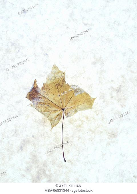 Withered maple leaf on a grey background