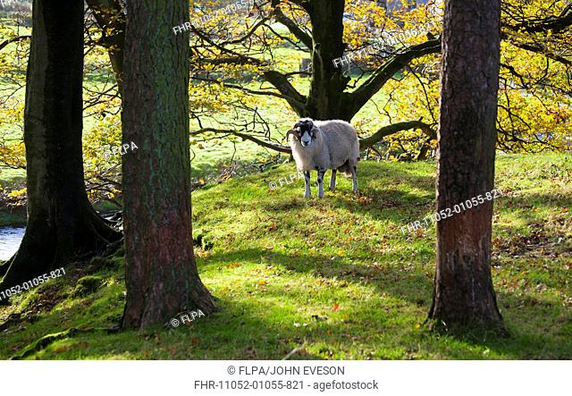 Domestic Sheep, Swaledale ram, standing amongst trees with leaves in autumn colour, Marshaw, Over Wyresdale, Forest of Bowland, Lancashire, England, november